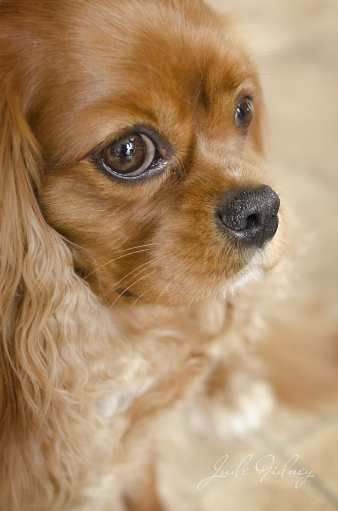 Portrait Photography, saddleworth - orange dog